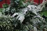 En knippe kvistar klippta från olika sorters vintergröna buskar och träd.