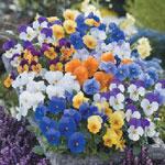 Viola 'Floral Power Mixed', minipensé