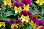 Viola 'Helen Mount'