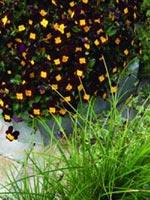Hornviol, Viola cornuta Endurio