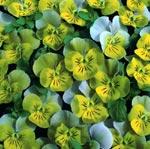 Viola x hybrida 'Miniola Heart Aqua'