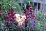 Gladiolus bildar med sina höga blomstjälkar verkligt vackra utropstecken i rabatten. Plantera några gladioluslökar i kruka, så kan du ge spänning åt rabatter som tillfälligt står utan blomsterprakt.