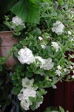 Enbart vita blommor i denna ampel!