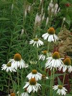 Den vitblommande solhatten Echinacea purpurea 'Alba' är förstås given! Den lyser upp och ger stadga åt hela rabatten. Här ramas den in av en stor rugge vit pärleternell i kanten, Achillea ptarmica 'The Pearl'.