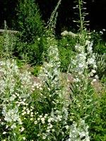 Vit mjölke, mattram m.fl. vita blommor