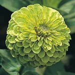 Zinnia, 'Envy Double'