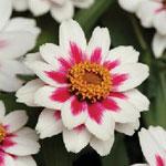Zinnia 'Zahara Rose Starlight'