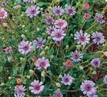 Zuluaster, Felicia heterophylla