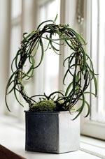'Kalahari Survivor'®, Bryophyllum scandens