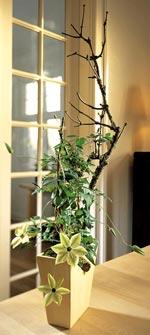 Klematis, Clematis florida-hybrid