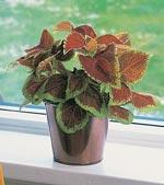 Palettblad, Coleus blumei hybrid