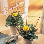 Ranunkel, Ranunculus-hybrid