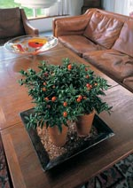 Korallbär, Solanum pseudocapsicum