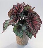 Kungsbegonia, Begonia rex