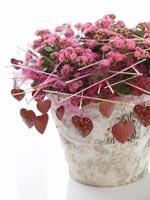 Höstglöd, Kalanchoe blossfeldiana