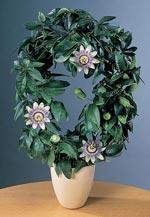 Passionsblomma, Passiflora