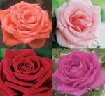 Krukros, Rosa-hybrid