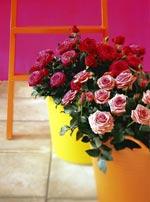 Krukrosor, Rosa hybrid