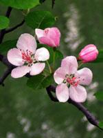 Äpple, Malus domestica, blommor