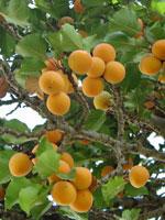 Aprikos, Prunus armeniaca
