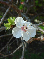 Aprikos, Prunus armeniaca, blomma