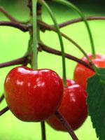 Körsbär, Prunus avium