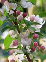 Körsbär, Prunus avium, blommor