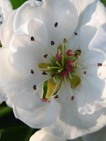 Päron, Pyrus communis, blomma