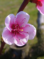 Persika, Prunus persica, blomma