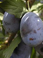 Plommon, Prunus domestica