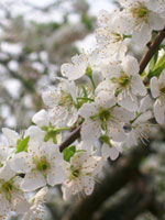 Plommon, Prunus domestica, blommor
