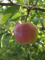 Äpple, Malus domestica