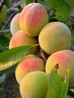Persika, Prunus persica
