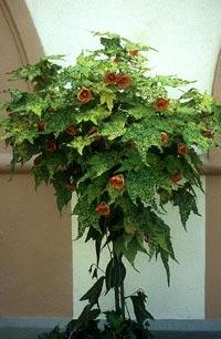 Blomsterlönn