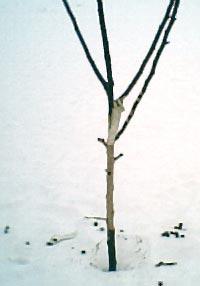 Äppelträd angripet av harar