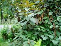 Prunus av någon sort, återkom med blombild!