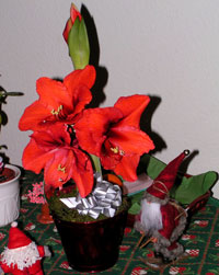 Amaryllis med 12 blommor