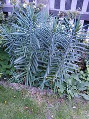 Euphorbia lathyris, korstörel.