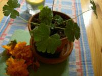 Glansnäva Geranium lucidum