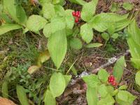 Stenbär, Rubus saxatilis