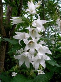 Campanula latifolia, hässleklocka
