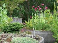Odla i stora kärl, t.ex. rejäla cementrör