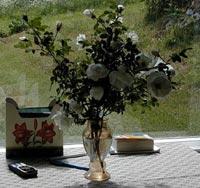 Finlands vita ros, Rosa pimpinellifolia 'Plena'