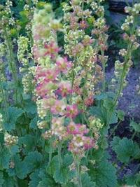 x Heucherella tiarelloides, spetsmössa