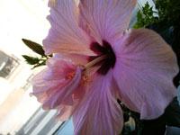 Hose-in-hose-blomma