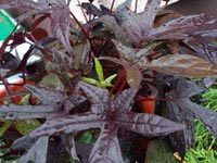 Hibiscus acetosella 'Coppertone'
