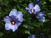 Hibiscus syriacus, frilandshibiscus