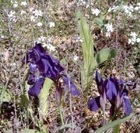 Iris pumila, småiris