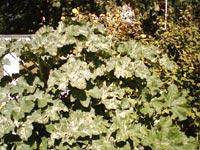 Lavatera arborea 'Variegata'