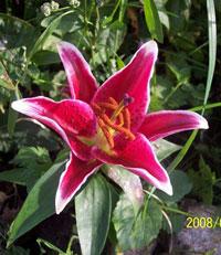 Orientalisk lilja, ev. av sorten 'Stargazer'